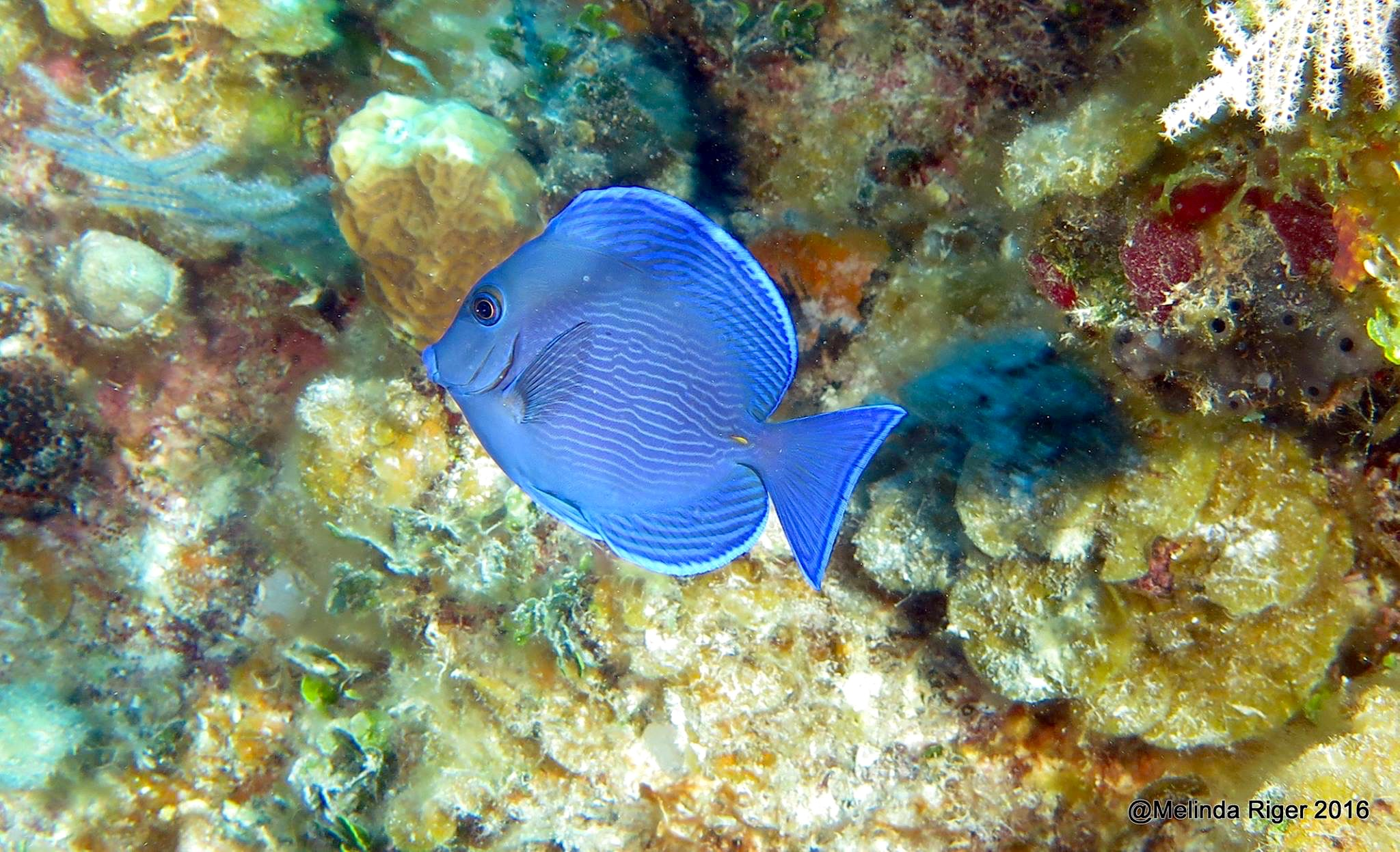 blue tang bahamas rolling harbour abaco