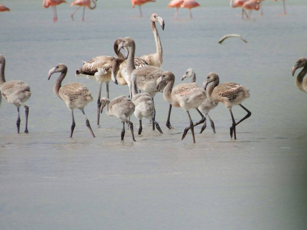 Flamingo chicks, Inagua National Park (Melissa Groo / Lynn Gape / BNT)