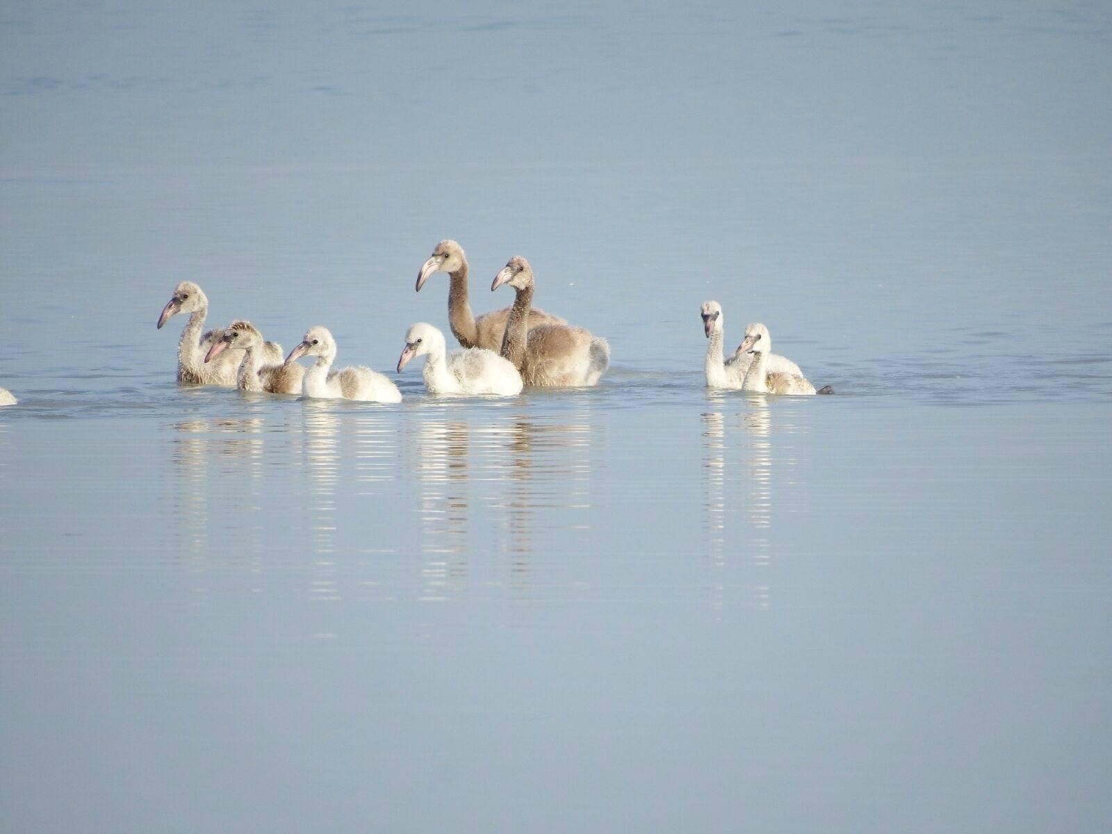 Flamingo chicks, Inagua National Park (Melissa Groo / Lynn Gape / BNT)