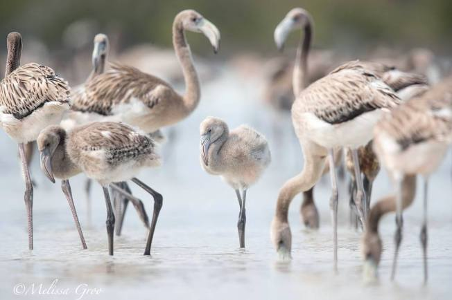 Flamingo chicks, Inagua National Park (Melissa Groo / BNT)