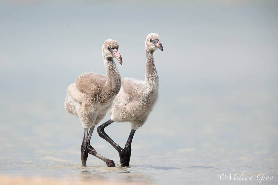 Flamingo chicks, Inagua National Park (Melissa Groo / BNT)
