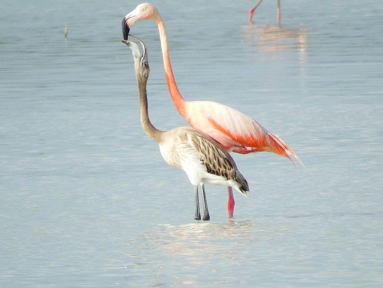 Flamingo feeding chick, Inagua National Park (Casper Burrows / BNT)
