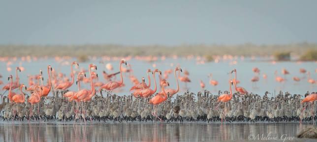 Flamingos & chicks, Inagua National Park (Melissa Groo / BNT)