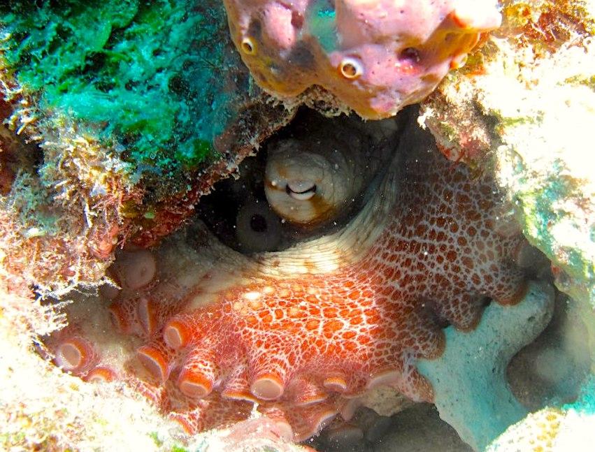 Octopus - Melinda Riger, Grand Bahama Scuba