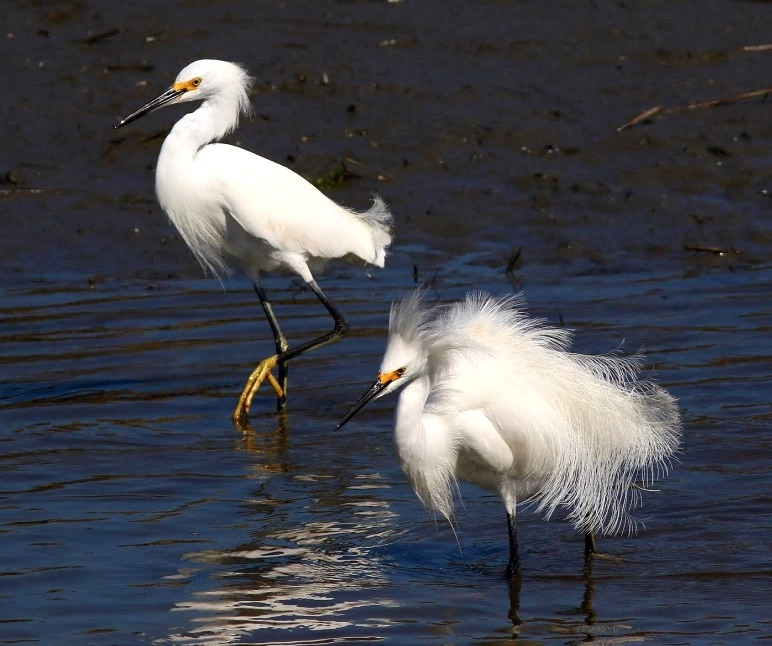 Snowy Egrets fishing (Phil Lanoue)
