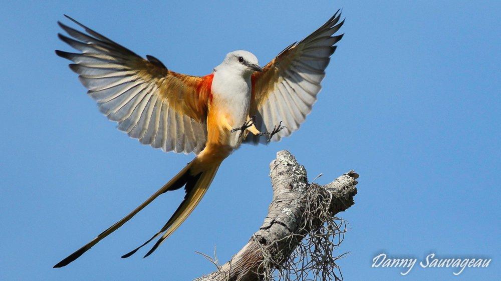 Scissor-tailed Flycatcher - Danny Sauvageau