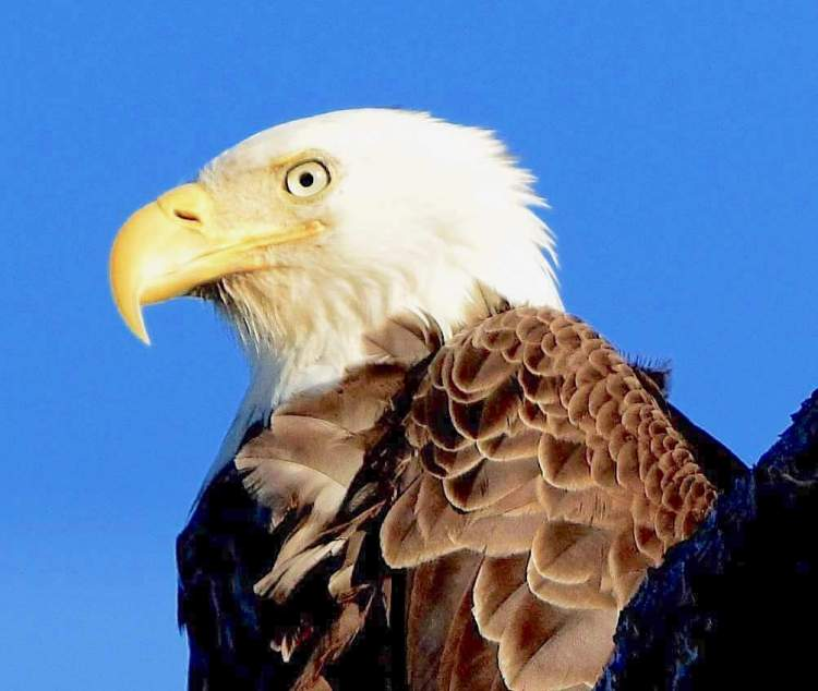 Bald Eagle - Poquoson, Virginia - Brian Lockwood