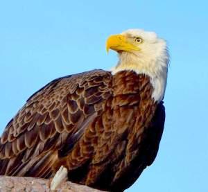 Bald Eagle - Poquoson, Virginia - Brian Lockwood