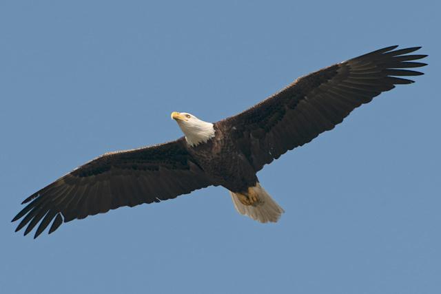 Bald Eagle In Flight By Carole Robertson (Wiki)