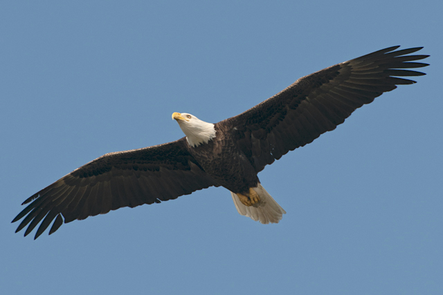 Bald Eagle In Flight By Carole Robertson (Wiki)