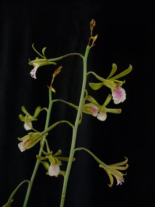 Orchid Eulophia graminea, Abaco, Bahamas (Scott Zona Wiki)