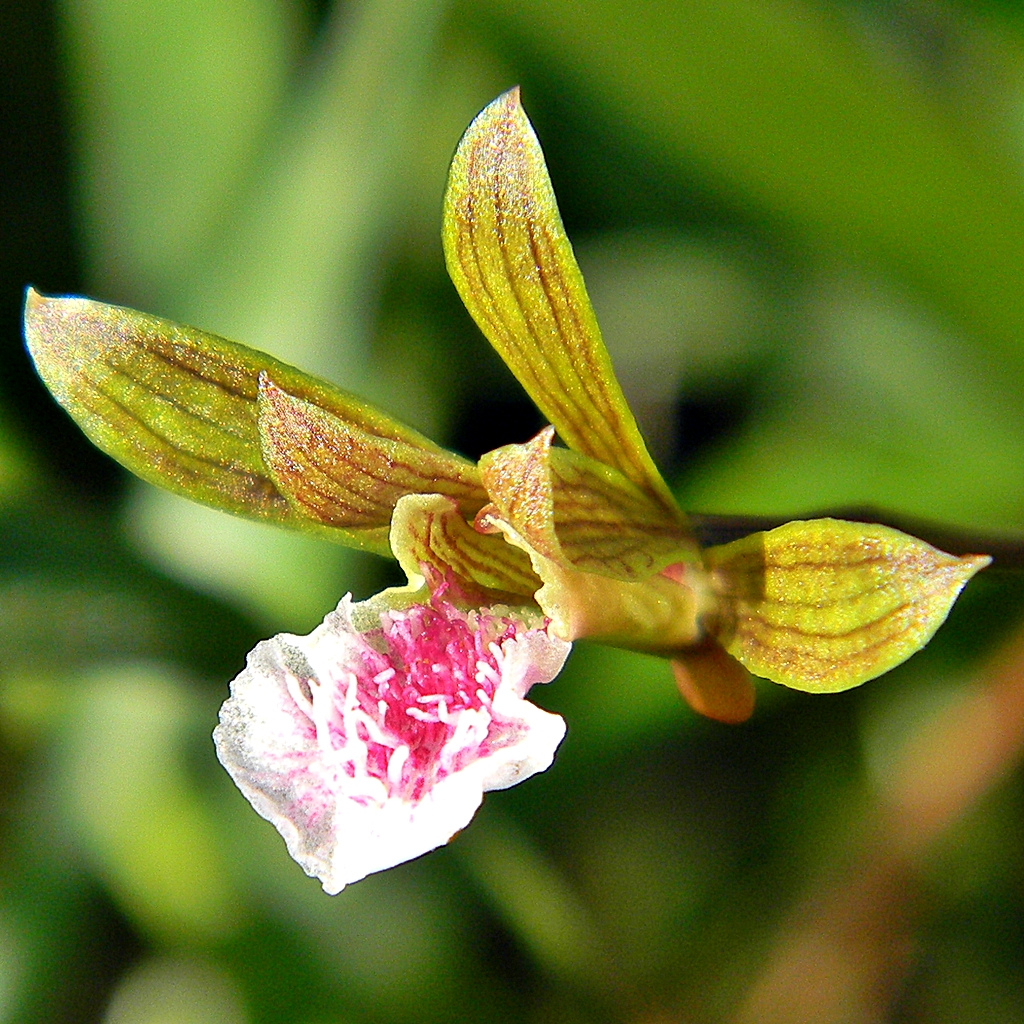 Orchid Eulophia graminea, Abaco, Bahamas (Bob Peterson Wiki)