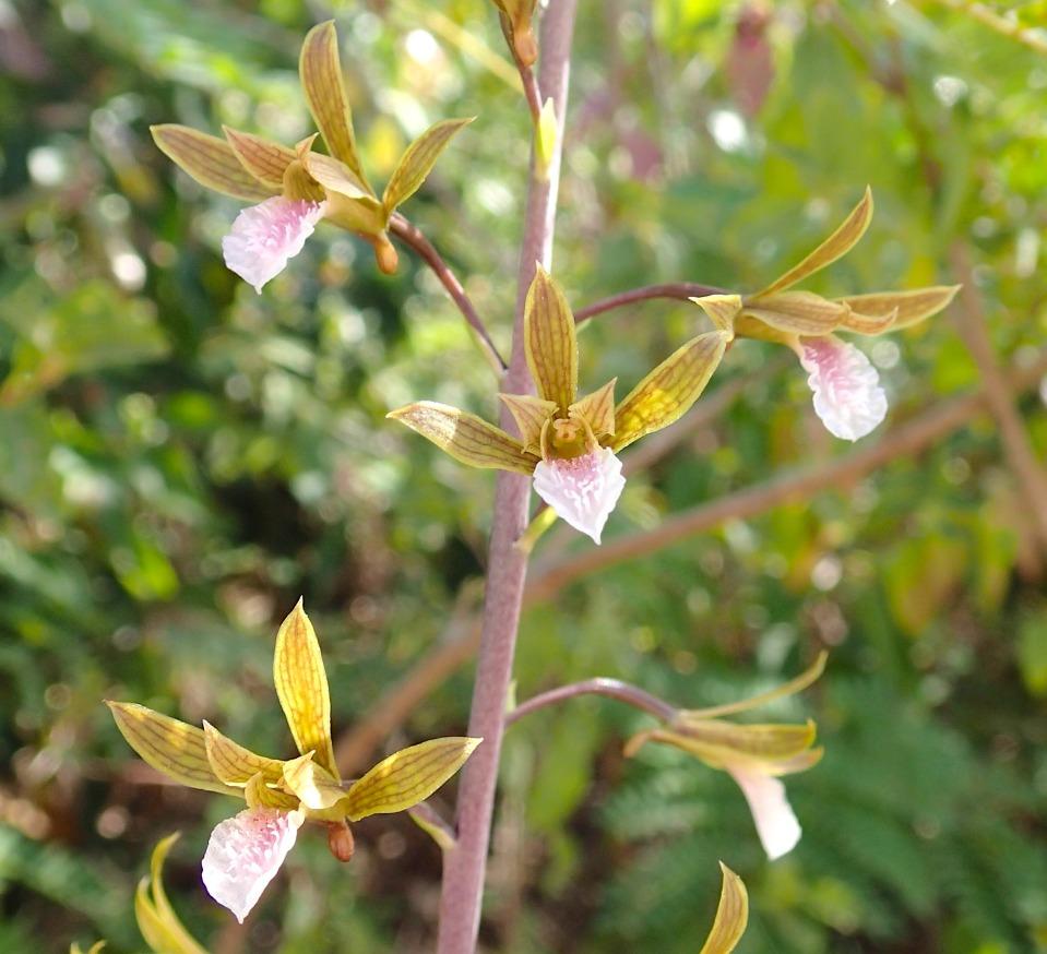 Orchid Eulophia graminea, Abaco, Bahamas (Lucy Davies)