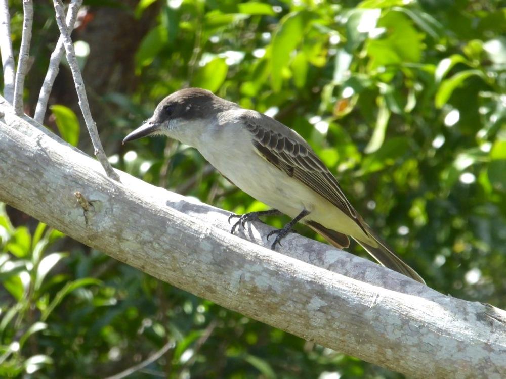 Loggerhead Kingbird, Delphi, Abaco, Bahamas (Keith Salvesen)