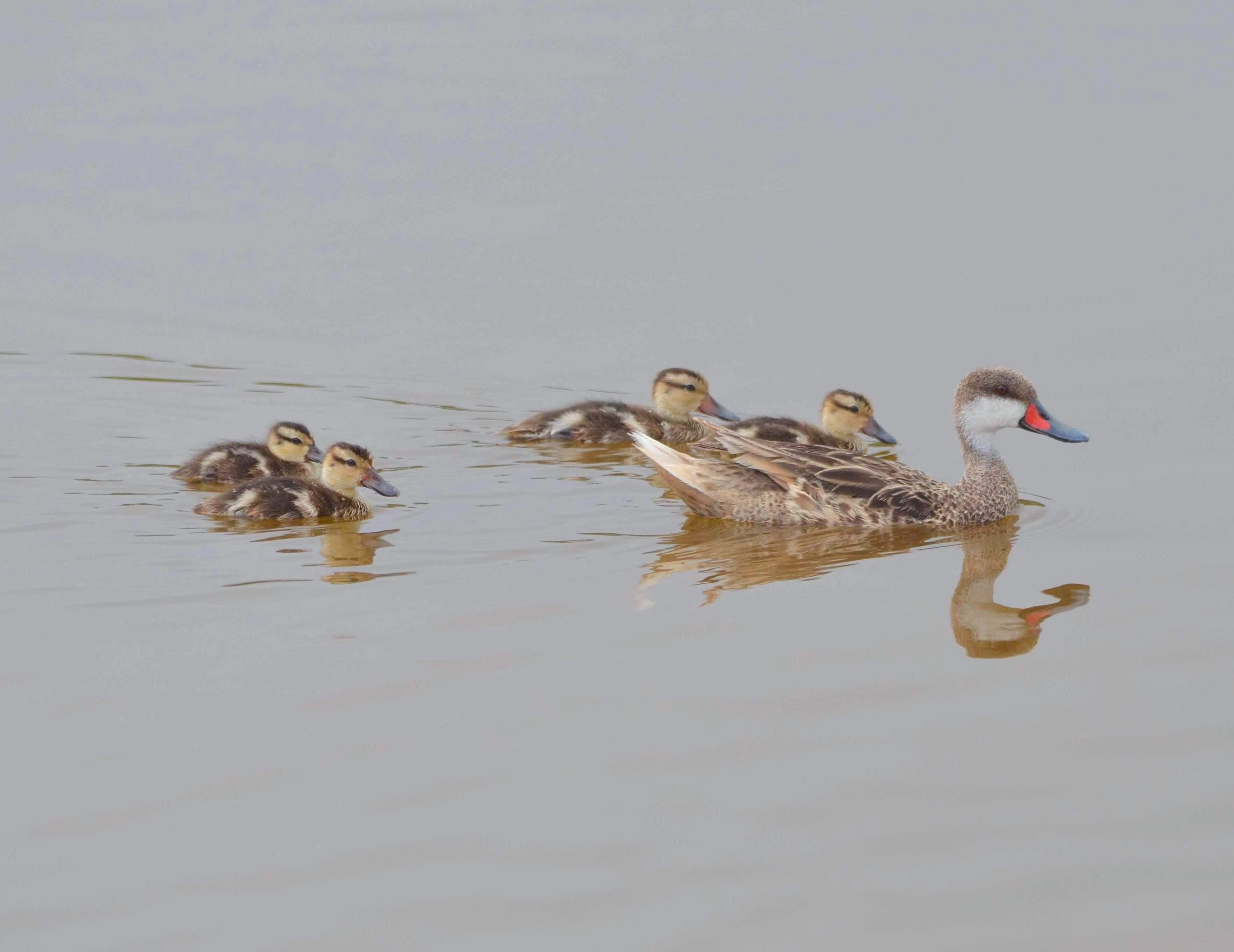 White-Cheeked Pintail Ducks & Bahama Ducklings on Abaco (Charles Skinner)