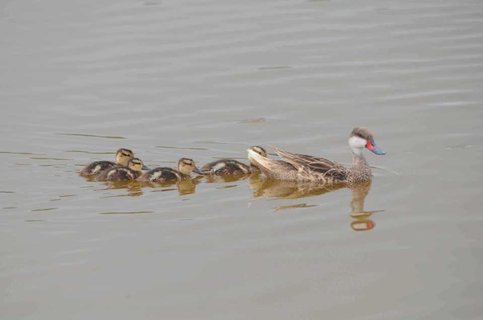 White-Cheeked Pintail Ducks & Bahama Ducklings on Abaco (Charles Skinner)