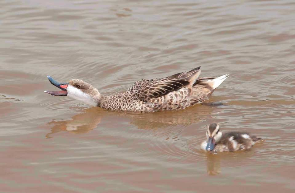 White-Cheeked Pintail Ducks & Bahama Ducklings on Abaco (Tom Sheley)