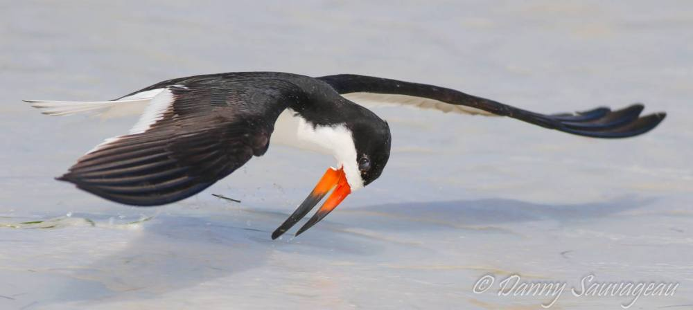 Black Skimmers skimming - Danny Sauvageau
