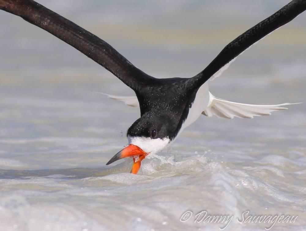 Black Skimmer feeding - Danny Sauvageau