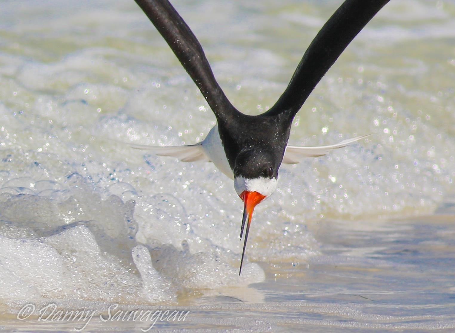 Black Skimmers - Danny Sauvageau