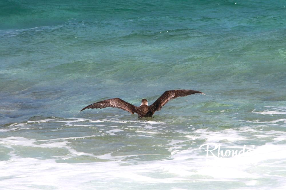 Audubon's Shearwater - part of a die-back event on Abaco (Rhonda Pearce)