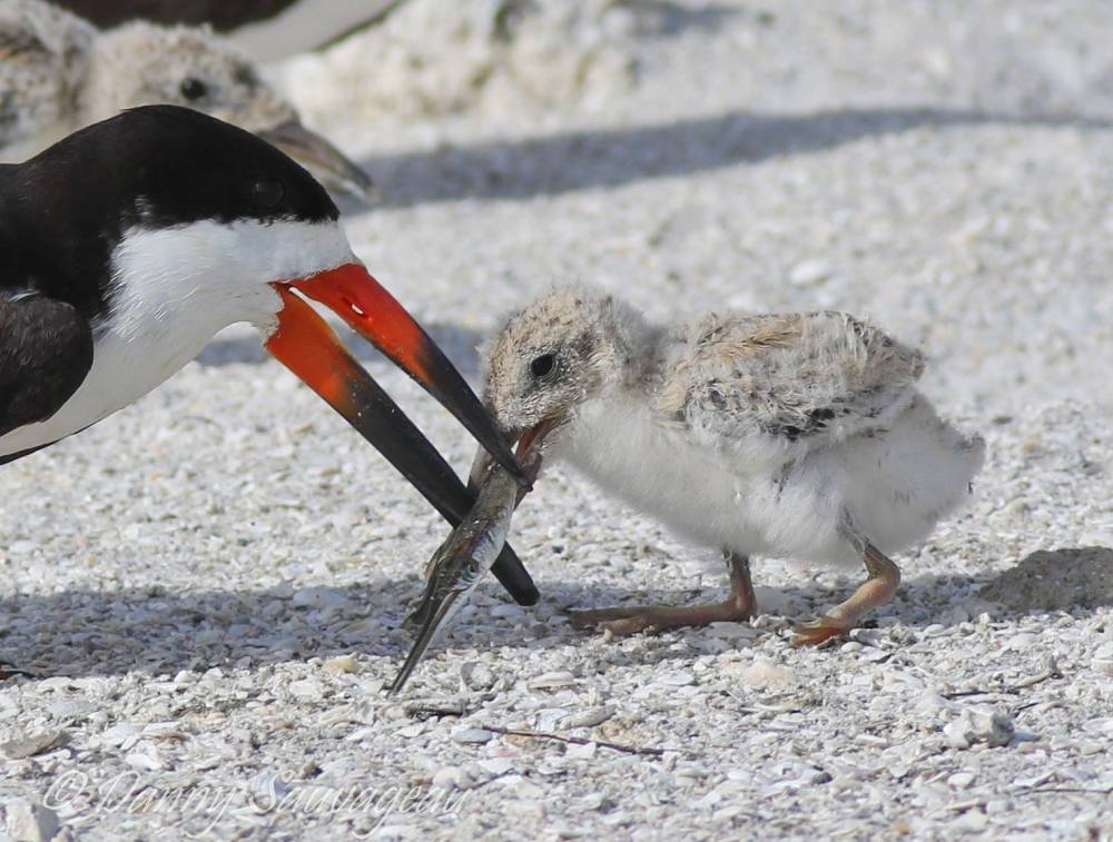 Black Skimmers and chicks - Danny Sauvageau