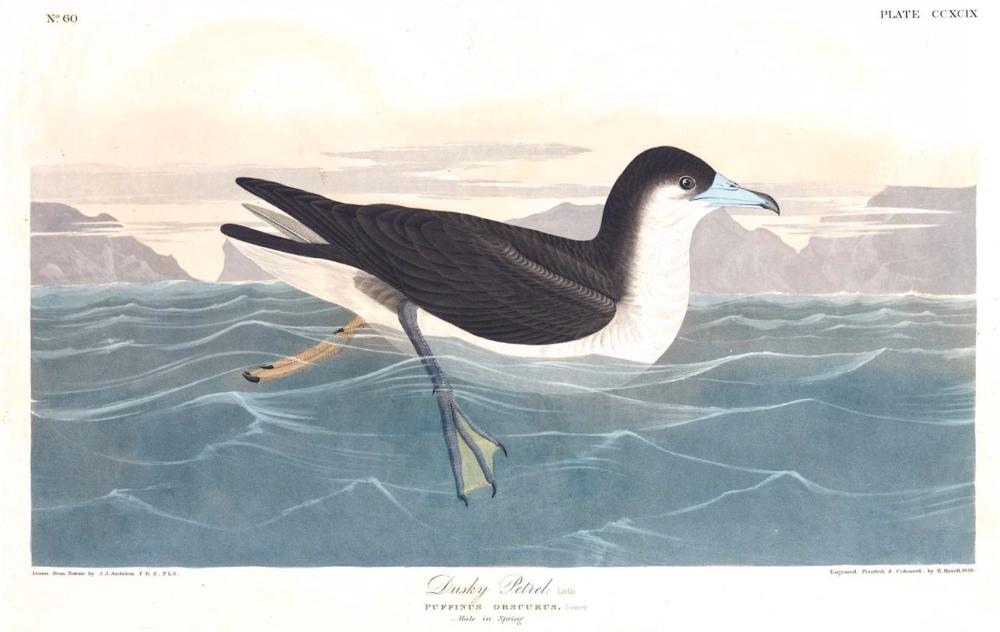 Audubon's Shearwater (Dusky Petrel) - Audubon.org