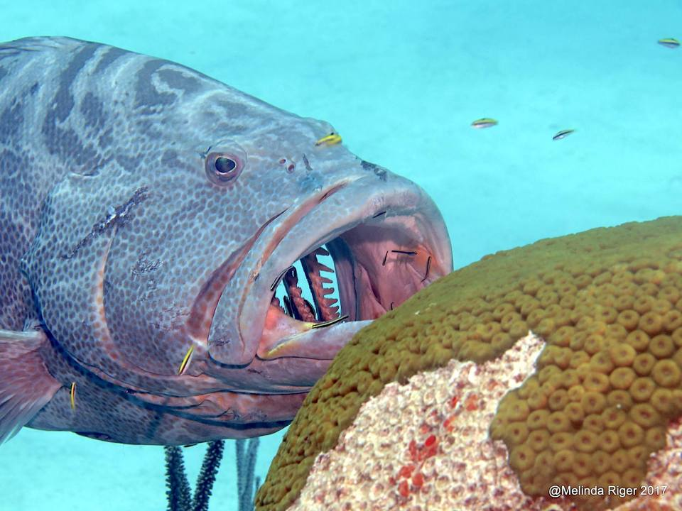 Grouper at cleaning station - Melinda Riger @ GB Scuba