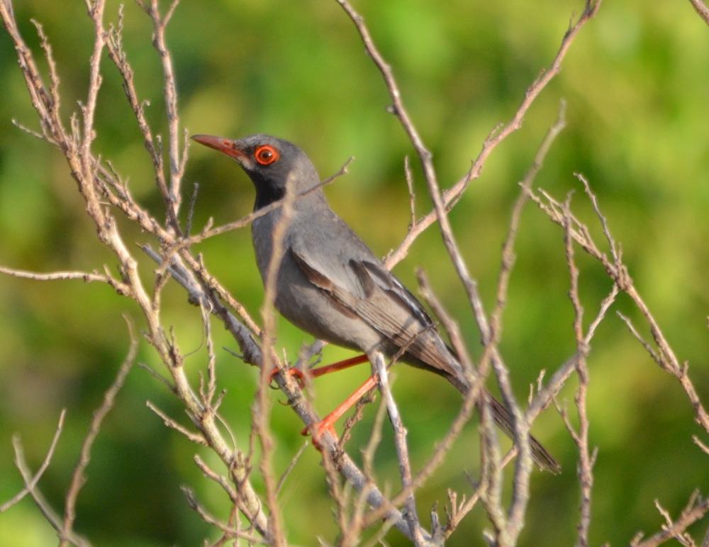 Red-legged Thrush, Abaco, Bahamas (Charles Skinner)