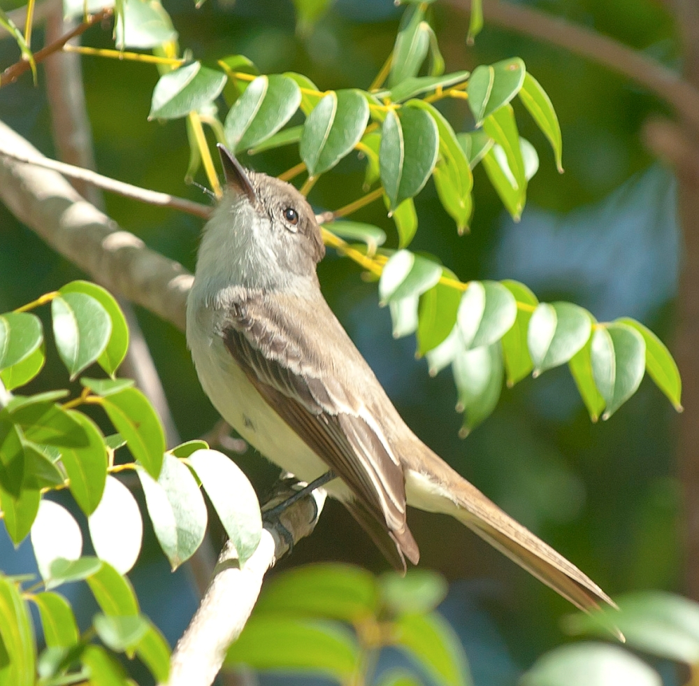 La Sagra's Flycatcher, Abaco - Tom Sheley