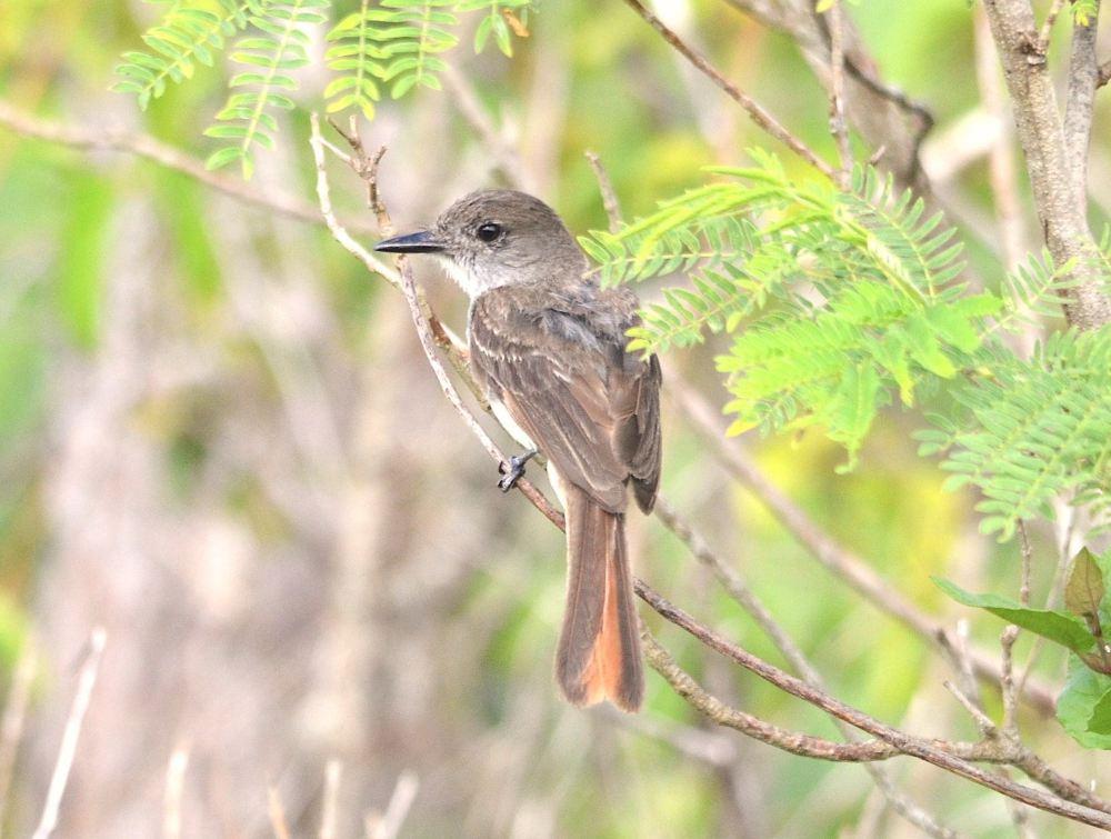 La Sagra's Flycatcher, Abaco - Charles Skinner