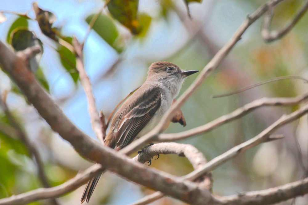 La Sagra's Flycatcher, Abaco - Peter Mantle