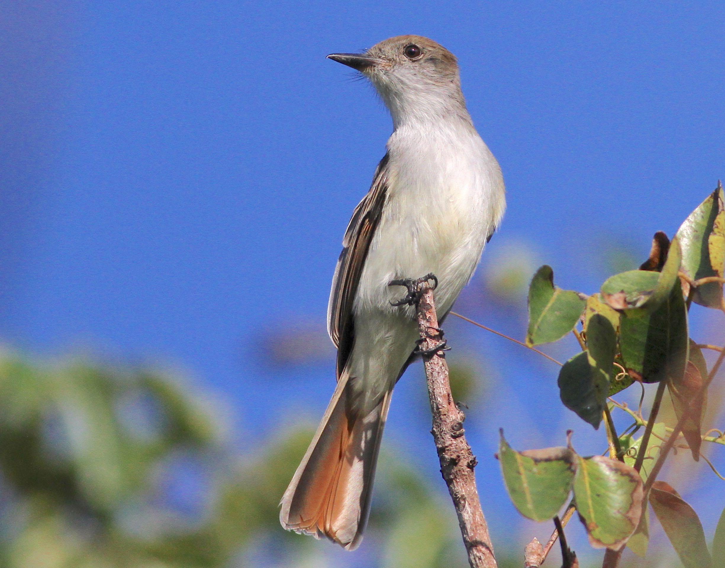 La Sagra's Flycatcher, Abaco - Gerlinde Taurer
