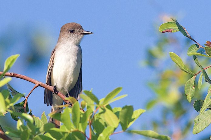 La Sagra's Flycatcher, Abaco - Tom Reed