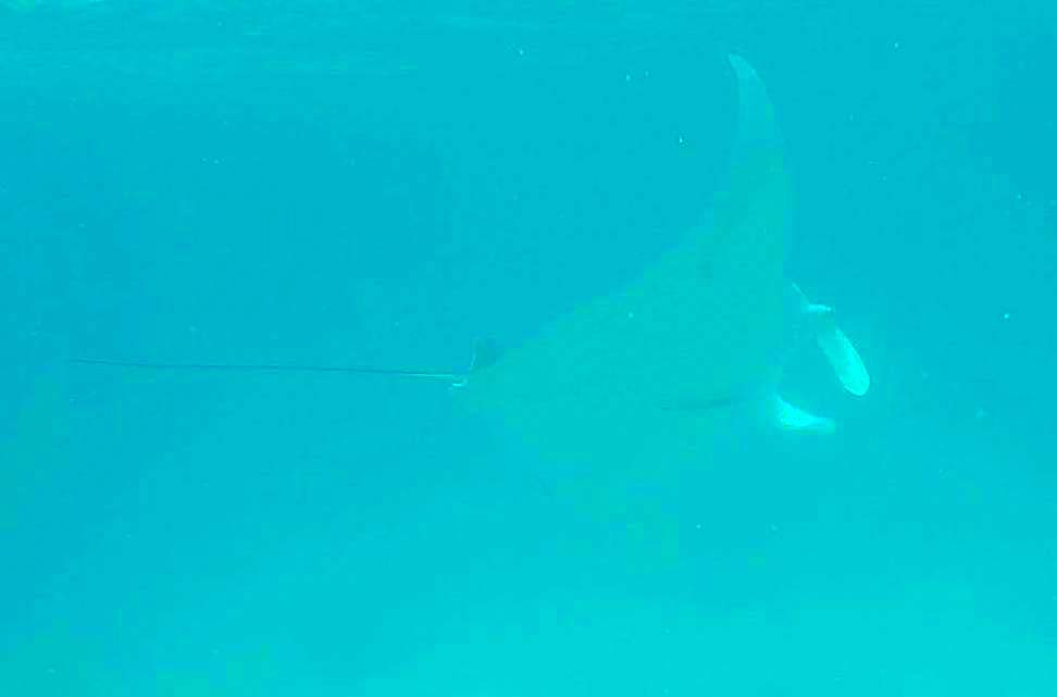 Manta Ray, Great Barrier Reef (Oscar Ward)