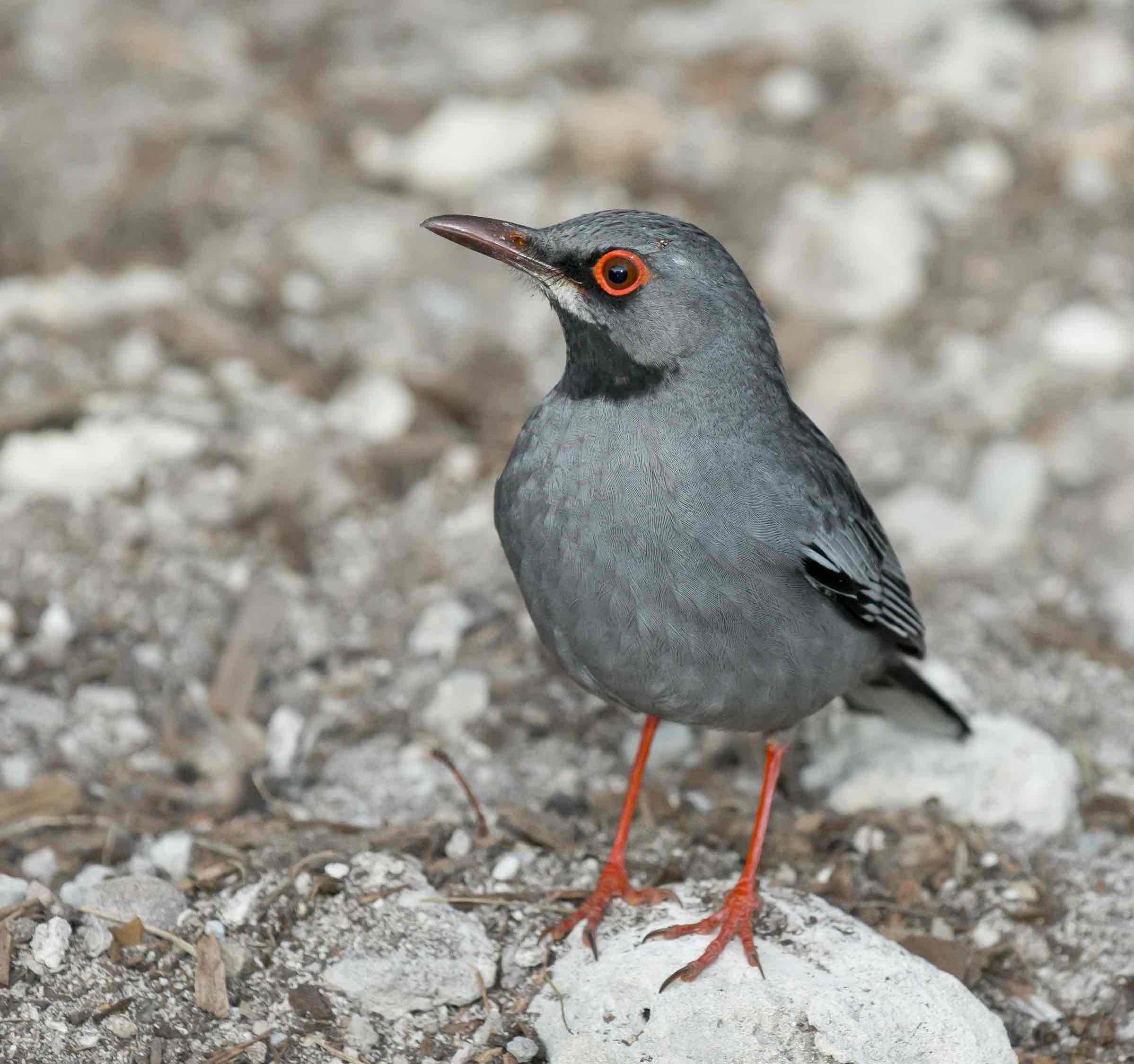 Red-legged Thrush, Abaco, Bahamas (Tom Sheley)