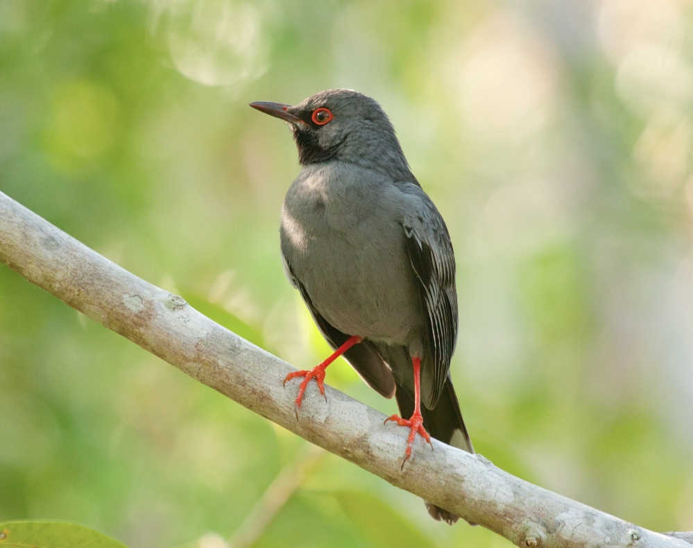 Red-legged Thrush, Abaco, Bahamas (Erik Gauger)