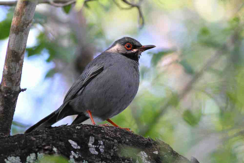 Red-legged Thrush, Abaco, Bahamas (Gerlinde Taurer)