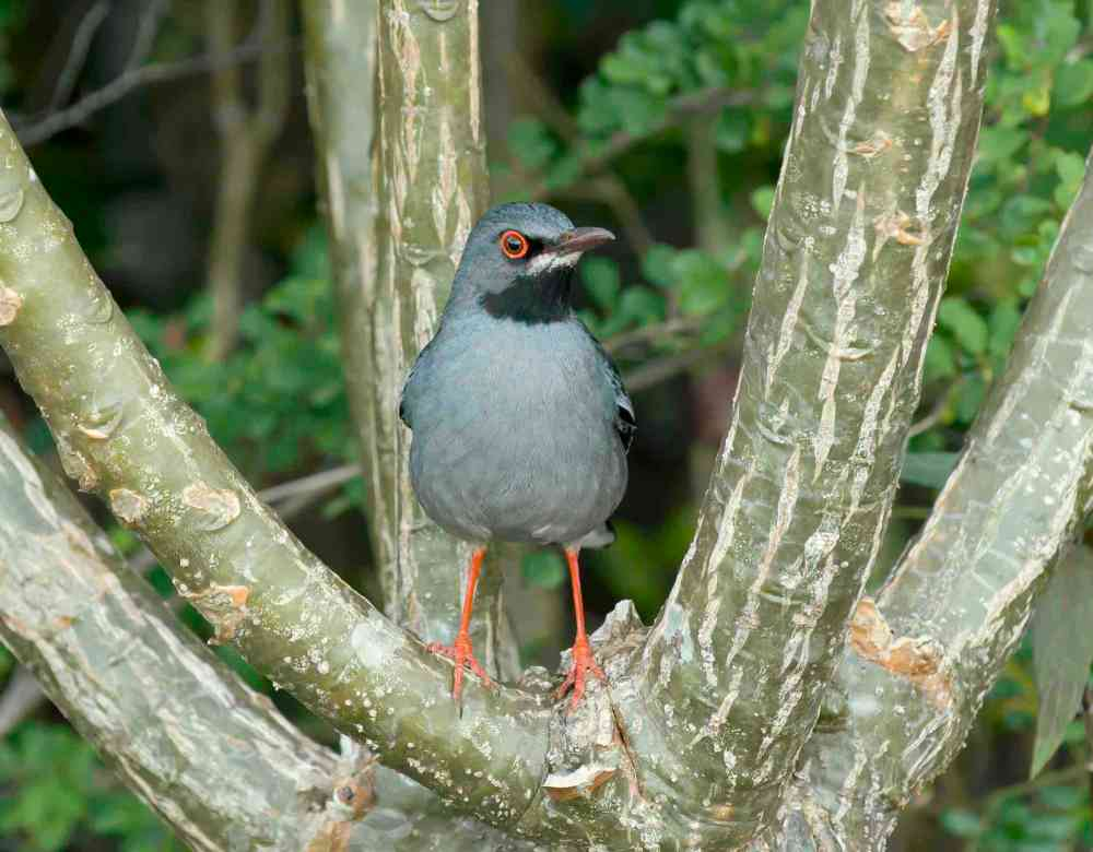 Red-legged Thrush, Abaco, Bahamas (Tom Sheley)
