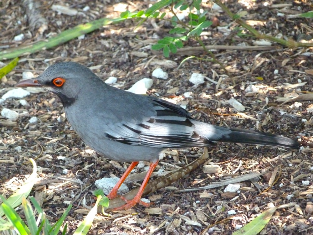 Red-legged Thrush, Abaco, Bahamas (S Salvesen)