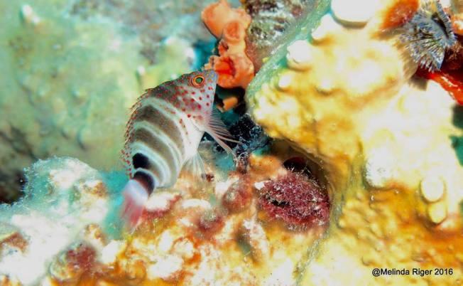 Redspotted Hawkfish, Bahamas (Melinda Riger)