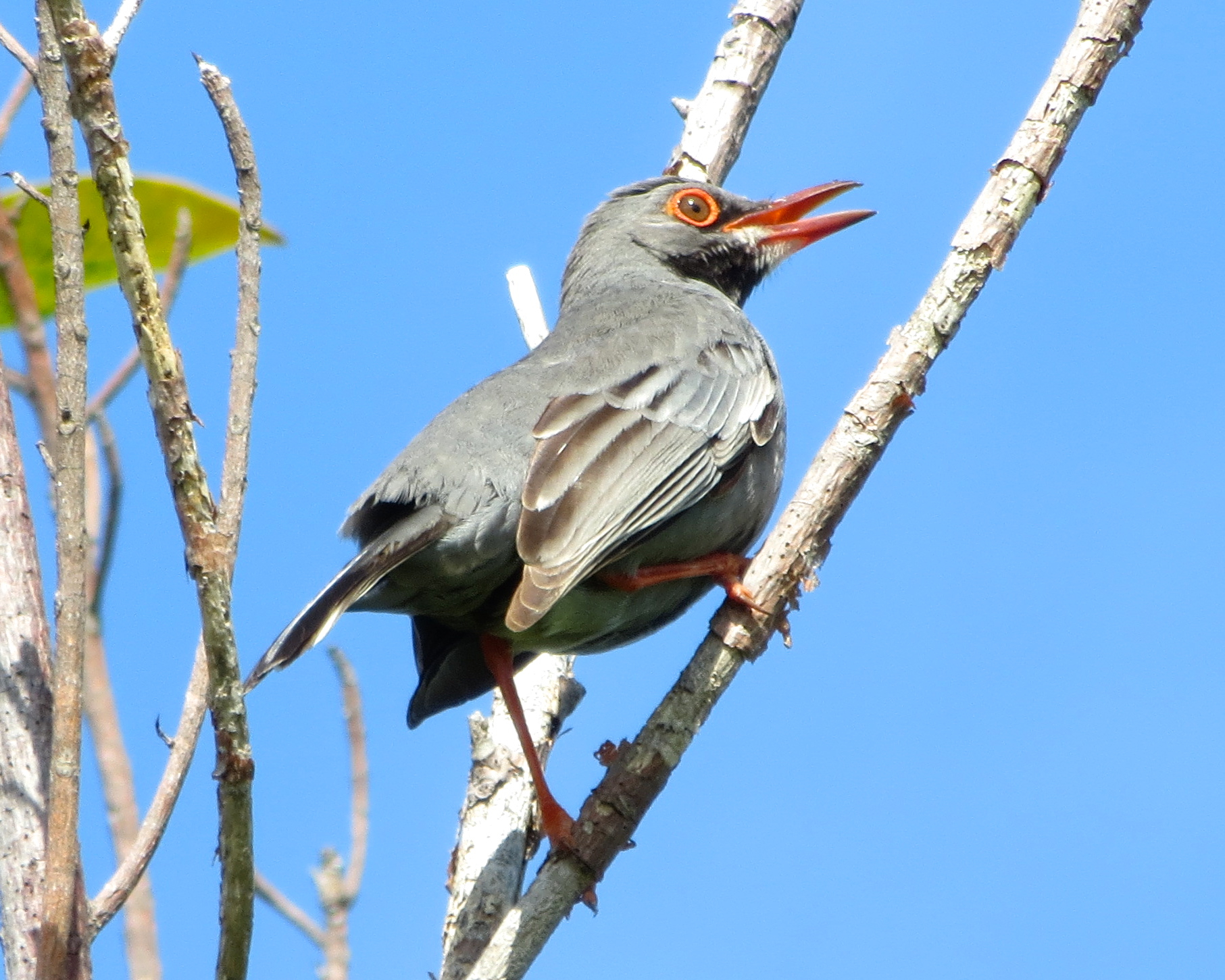 Red-legged Thrush, Abaco, Bahamas (Keith Salvesen)