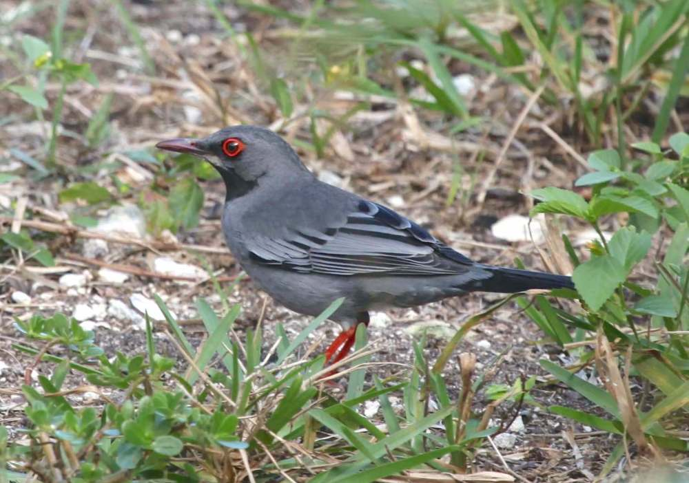 Red-legged Thrush, Abaco, Bahamas (Peter Mantle)