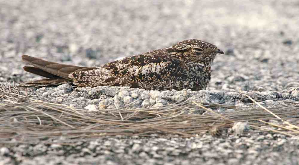 Antillean Nighthawk, Abaco (Bruce Hallett)