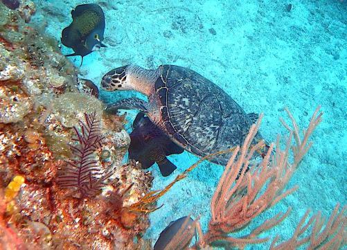 Hawksbill Turtle & Angelfish (Melinda Riger / Grand Bahama Scuba)