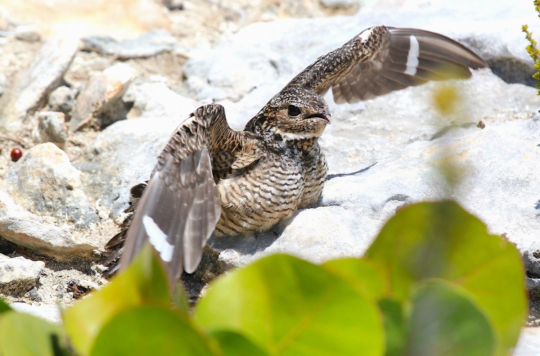 Antillean Nighthawk, Abaco (Stephen Connett)