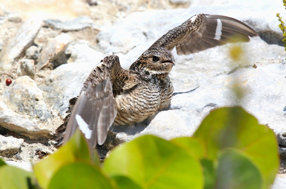 Antillean Nighthawk, Abaco (Stephen Connett)