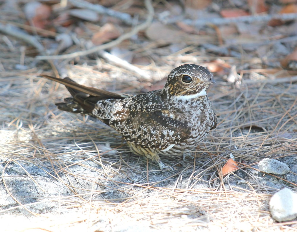 Antillean Nighthawk (Stephen Connett)