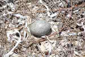 Antillean Nighthawk Egg (Stephen Connett)