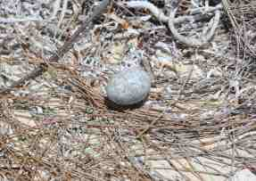 Antillean Nighthawk Egg (Stephen Connett)